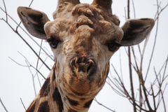 Giraffe in Chobe national park Royalty Free Stock Photography