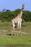 Giraffe. In the Chobe Nationalpark Royalty Free Stock Photos