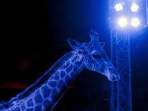 Giraffe in circus Stock Images