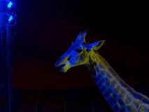 Giraffe in circus Stock Photos