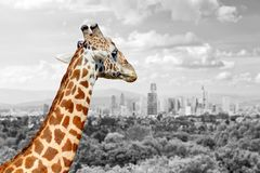 Giraffe with the city of on the background. Panoramic view from a lonely giraffe with the city of on the background. Black and white photography with color Royalty Free Stock Photos