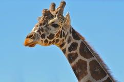 Giraffe Close Up. A close up orf the head and neck of a giraffe Stock Photos