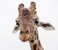 Giraffe close up stock images