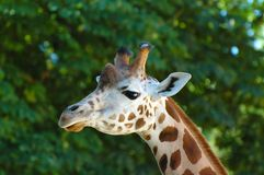 Giraffe close-up Stock Photo