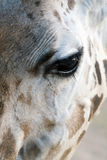 Giraffe Close-up Stock Image