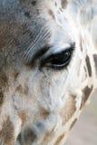 Giraffe Close-up stock image
