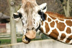 Giraffe Close up. Giraffe Eating stretching to get some green grass Royalty Free Stock Image
