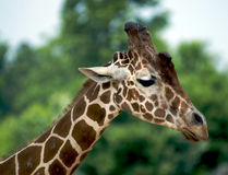 Giraffe Close up. A close up of the long neck and head of a giraffe Royalty Free Stock Photo