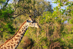 Giraffe in close up in african landscape Stock Image