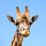 Head of Giraffe close up Stock Photo