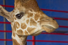 Giraffe Close Up Stock Images