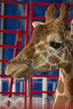 Giraffe Close Up Royalty Free Stock Images