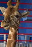Giraffe Close Up Royalty Free Stock Image