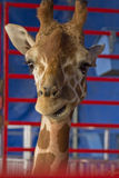 Giraffe Close Up Royalty Free Stock Photos