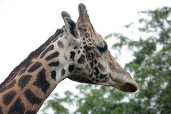 Giraffe. A close up of a giraffes face in profile Royalty Free Stock Photos