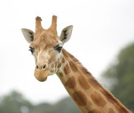 Giraffe. Close up, head and neck Royalty Free Stock Photo