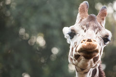 Giraffe close up image Royalty Free Stock Photos