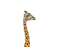 Giraffe close up isolated on white Stock Photography