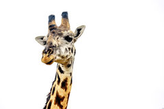 Giraffe close up isolated on white Royalty Free Stock Photos