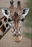 Giraffe - close-up portrait. Of this beautiful african animal Royalty Free Stock Image