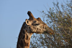 Giraffe close up. Profile of a giraffe in the savannah Stock Photography