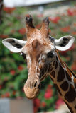 Giraffe close up Stock Photography
