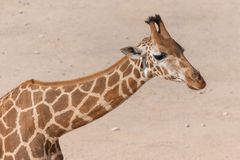 A giraffe close up in the sand stock photography