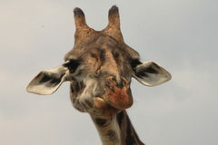 Giraffe. Close up of a giraffe in Serengeti National Park Royalty Free Stock Photo