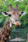 Close up shot of giraffe. Close up shot of head giraffe in the zoo Royalty Free Stock Photo
