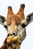 Giraffe closeup. Closeup picture of the head of a giraffe Royalty Free Stock Image
