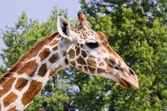 Giraffe Closeup. Closeup of a giraffe against green foliage behind Royalty Free Stock Photo