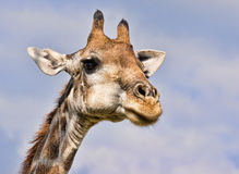 Giraffe Closeup Stock Images