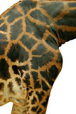 Giraffe closeup Royalty Free Stock Photo
