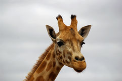 Giraffe closeup. Close up photo of the head of a giraffe royalty free stock image