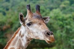 Giraffe_ Royalty Free Stock Photography