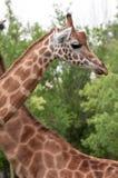 Giraffe closeup head and neck bacground another giraffe. Giraffe - Giraffa camelopardalis closeup head and neck bacground another giraffe Royalty Free Stock Photo