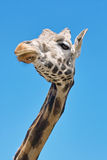 Giraffe, closeup Royalty Free Stock Image