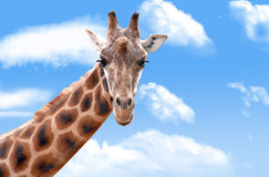 Giraffe in the clouds stock photography