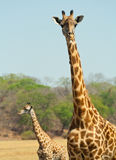 Giraffe. Color image of two giraffes in the wild Royalty Free Stock Images