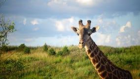 Giraffe com fundo do céu azul Imagens de Stock Royalty Free