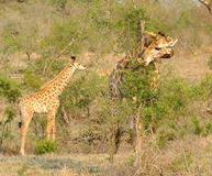 Giraffe com jovens Fotografia de Stock Royalty Free