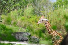 Giraffe coming out of wood Royalty Free Stock Photo