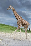 Giraffe coming to you on deep blue sky background Royalty Free Stock Images