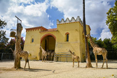 Giraffe compound in a Zoo Royalty Free Stock Photo