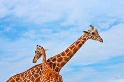 Giraffe contro il cielo blu Immagini Stock