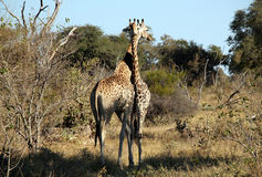 Giraffe Couple. At Khwai River, Botswana Stock Photo