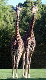 Giraffe couple Stock Photography