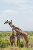 Giraffe couple. Amboseli, Kenya. Stock Photos
