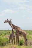 Giraffe couple. Amboseli, Kenya. Stock Photos
