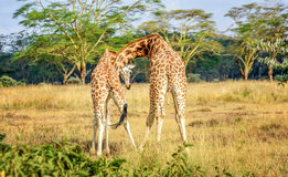 Giraffe couple cuddling with each other in Kenya, Africa Royalty Free Stock Photo